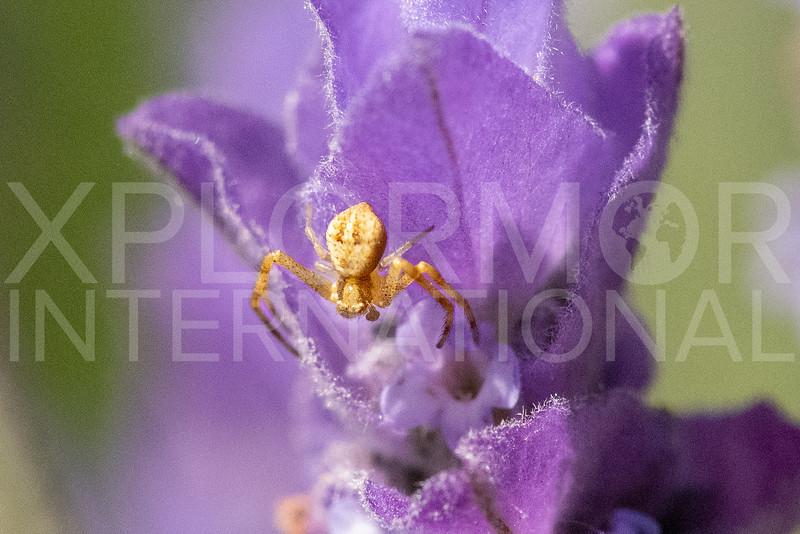 Crab Spider - Need ID