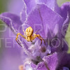 Crab Spider - Need ID