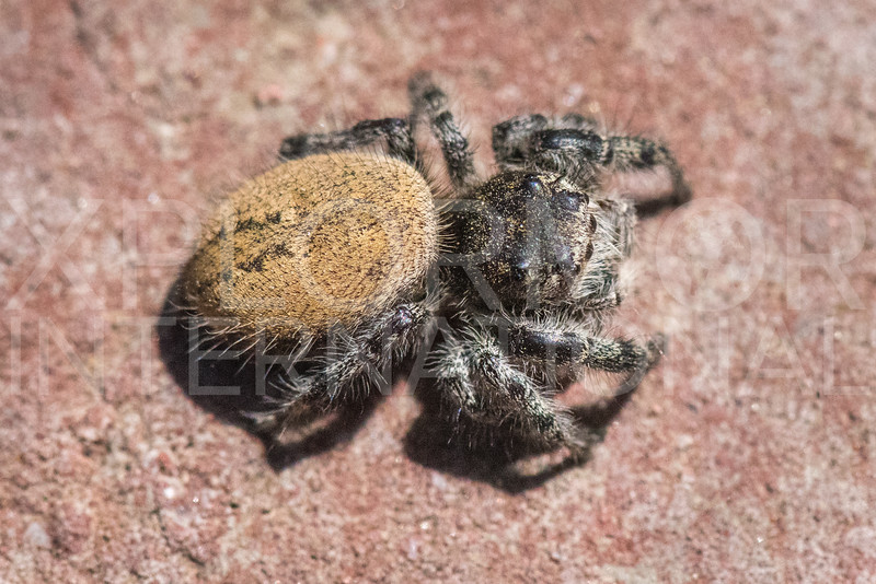 Phid Jumping Spider - Need ID