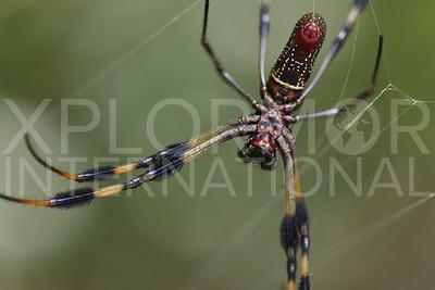 Golden Silk Orb-weaver Spider 2