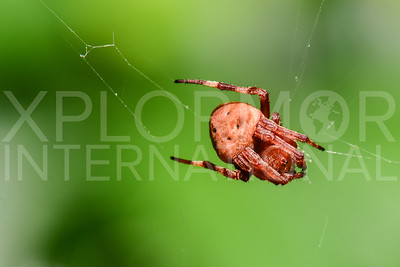 Orb-weaver Spider in Cuba