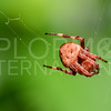 Orb-weaver Spider, Unidentified