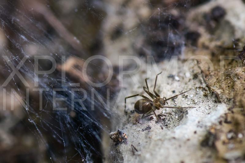 Cobweb Spider - Need ID