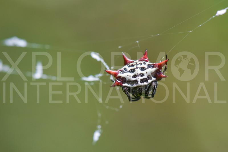 Spinybacked Orb-weaver Spider