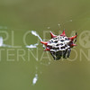 Spinybacked Orb-weaver Spider