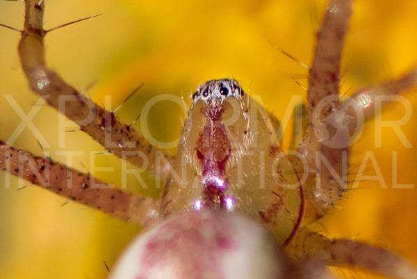 Lynx Spider - Need ID