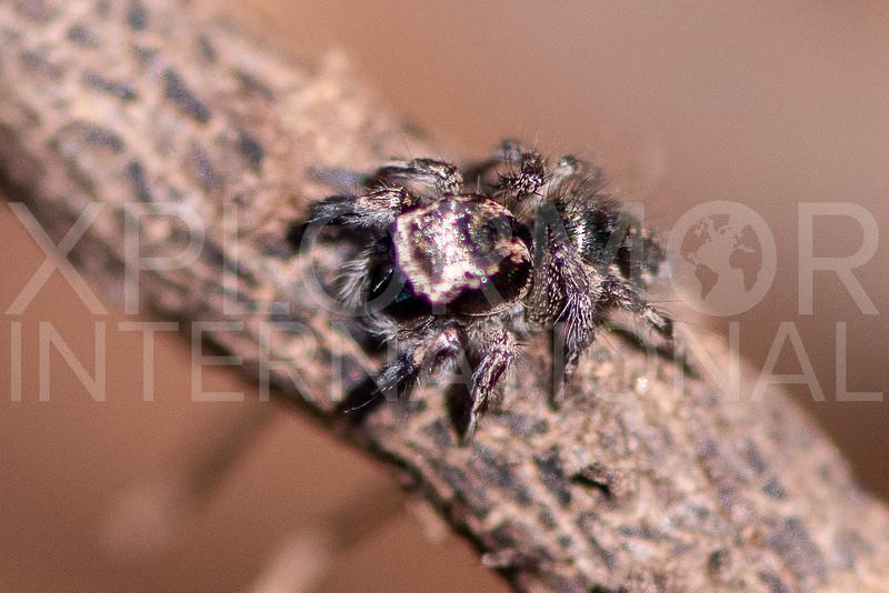 Hirsute Paradise Spider