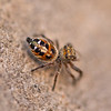 Hairy Tufted Jumping Spider