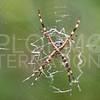 Silver Garden Spider