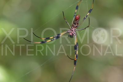 Golden Silk Orb-weaver Spider