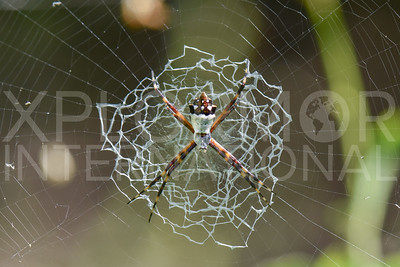 Garden Orb-weaver Spider 2