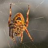Tropical Orbweaver