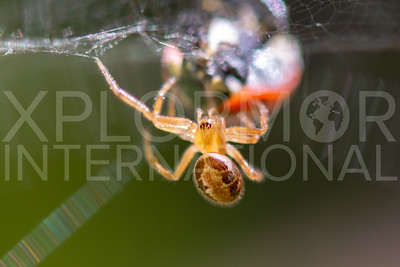 Noble False Widow