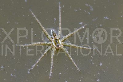Six-spotted Fishing Spider 2