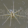 Six-spotted Fishing Spider