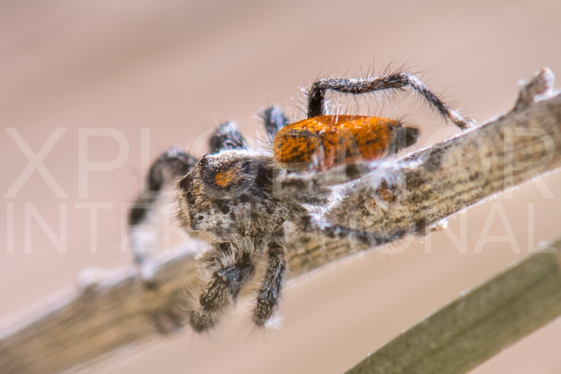 California Red Jumping Spider
