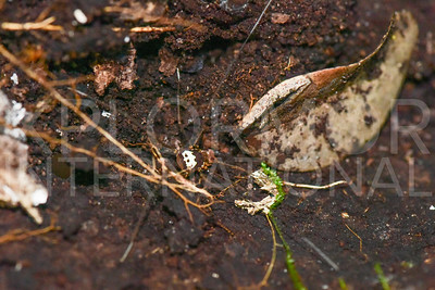 Harvestmen Spider, Unidentified