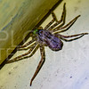 Wall Crab Spider - Need ID