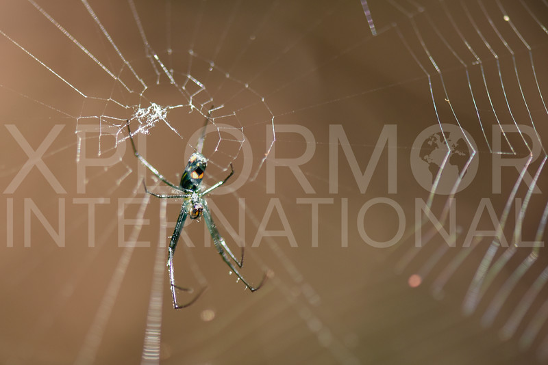 Orchard Orb-weaver Spider