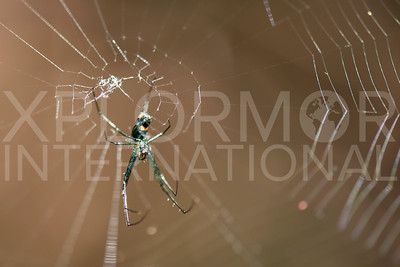 Orchard Orb-weaver Spider