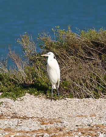Great Blue Heron, white-morph_7922