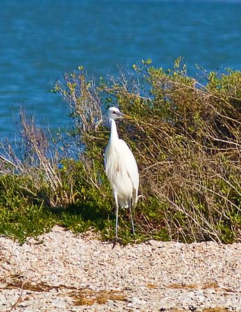 Great Blue Heron, white-morph_7900