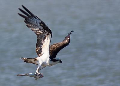 Osprey-BIF-fish_7941