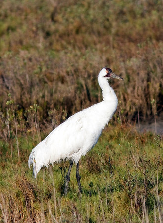 whooping-crane-adult