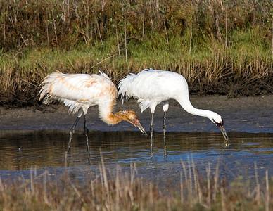 whooping-crane-crab_7642