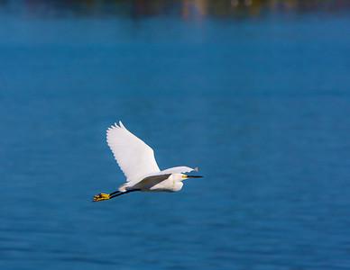 egret-in-flight_8022