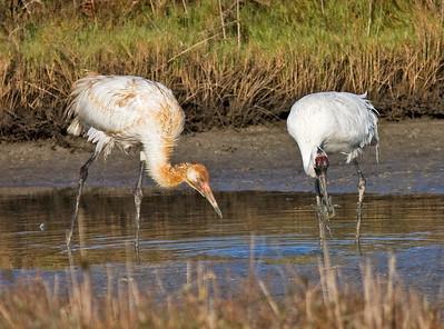 whooping-crane-pair