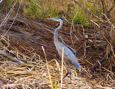 blue heron_7440