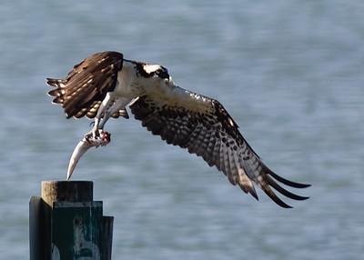 Osprey-fish-BIF_7940