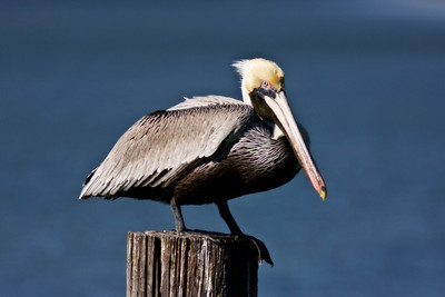 pelican-pool