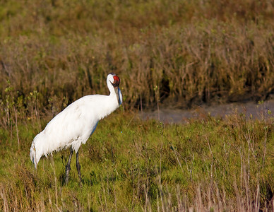 whooping crane-adult_7692