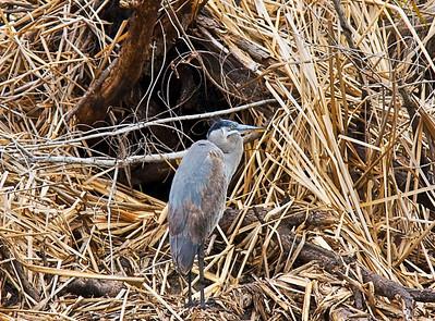 blue-heron_7430