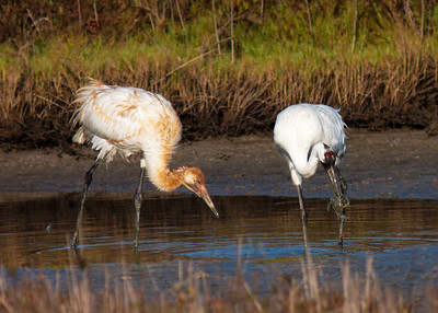 Whooping Crane-blue crab_7639