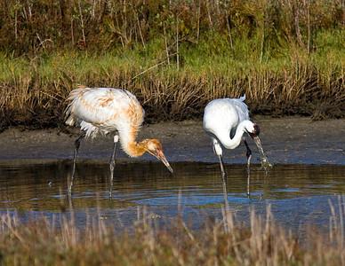 whooping-crane-crab_7640