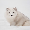 Arctic Fox-Regular Focus