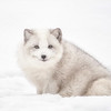 Arctic Fox-Soft Focus