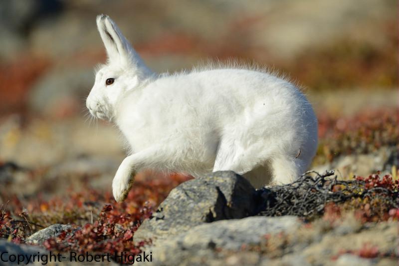 """Hare"" raising experience"