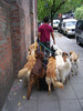 <h3>Dog walker in Buenos Aires.  (I counted several times:  14.)</h3>