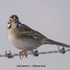 Lark Sparrow - Coffman Road