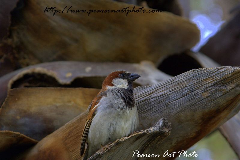 House Sparrow looking to one side looking proudly.