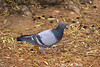Red-eyed Rock Pigeon, looking with one eye at the camera