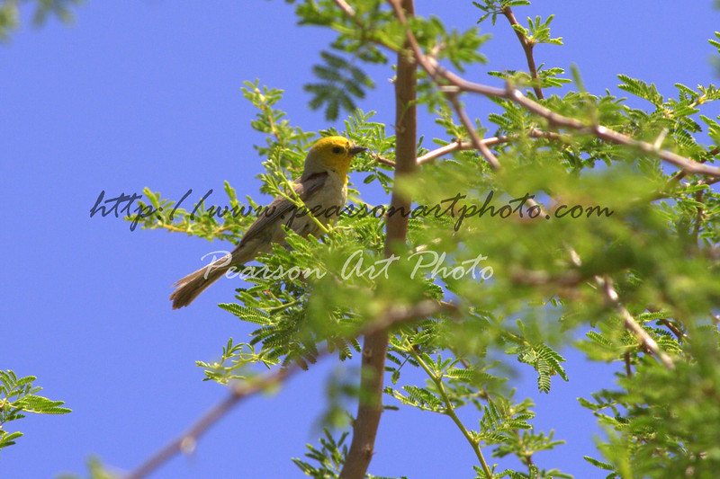 Verdin, a very small songbird found in the Southwest US and Northern Mexico. This one is perched in a mesquite tree in Tucson, AZ