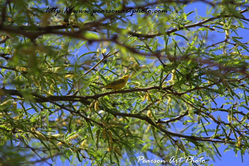Lesser Goldfinch sitting in a mesquite tree