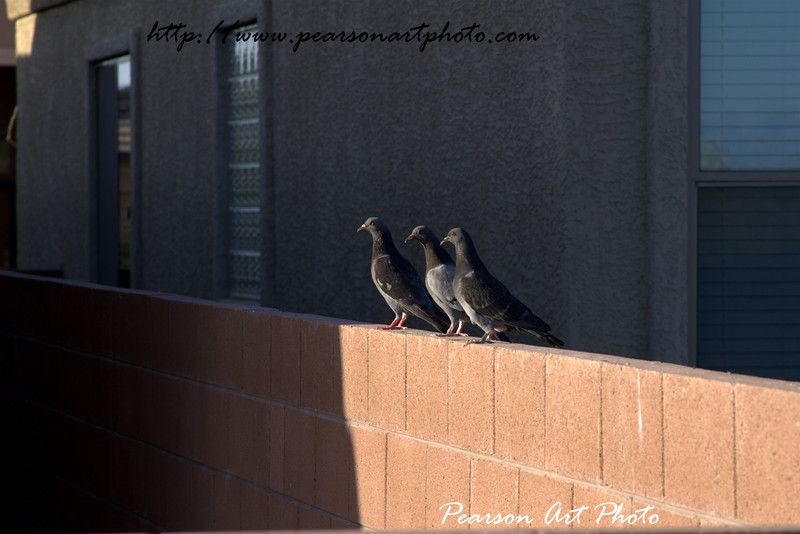 Three little pigeons, sitting on a fence.