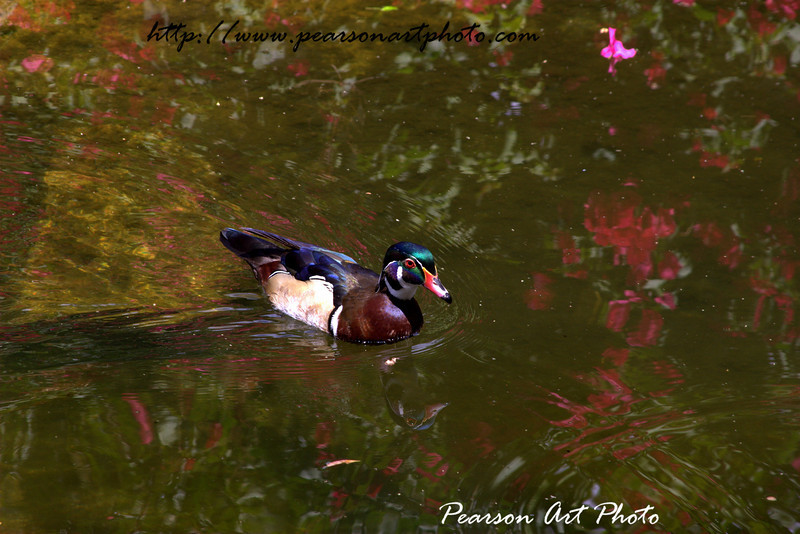 Duck swiming in a pond, with it's own reflection and that of red flowers visible in the water. Was taken from a local zoo, so not quite sure where it's from, but still cool.
