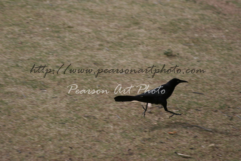 Great-tailed Grackle black bird running with both feet in the air.